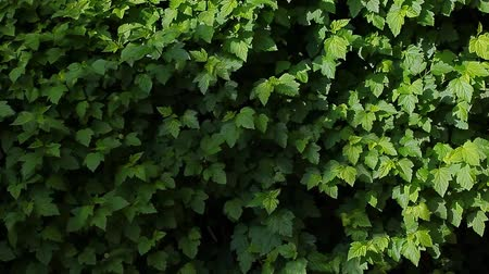 Виргиния : summer virginia creeper background wind nobody hd footage