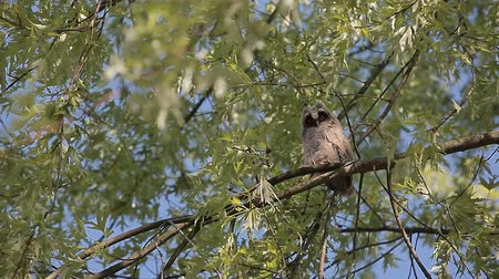 fagiano : wild baby owl tree background hd footage