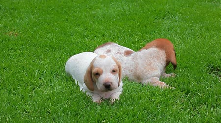 daksund : puppy portrait garden grass background hd footage Stok Video