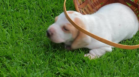 daksund : puppy portrait basket grass background hd footage Stok Video