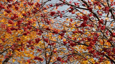 üvez ağacı : mountain ash autumn tree background Stok Video