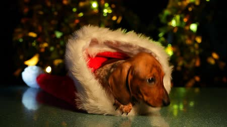 wiener dog : puppy portrait hat dark background hd footage