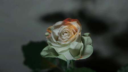 rose flower sharp wall background hd footage