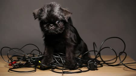 bassê : dog portrait wire dark background hd footage