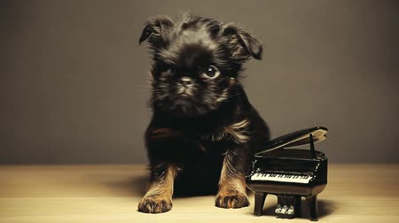 tlapky : puppy black piano wooden table hd footage