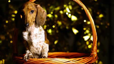 dog portrait basket dark background hd footage