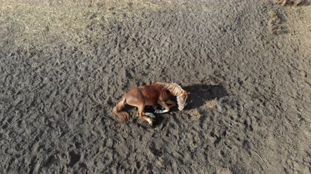 пони : Beautiful funny young chestnut horse rolling in dust at farm on bright sunny day. Playful foal having fun in paddock at farm Стоковые видеозаписи
