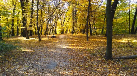 fall through : Walking through autumn forest. Pathway through bright colorful vibrant golden colored fall landscpae with sunlight illuminating fallen leaves. Tranquil nature scene Stock Footage