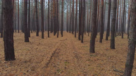 назад : Drone flying through beautiful misty pine forest in covered morning fog. Fantasy tranquil mystery ethereal coniferous wood with brown needle carpet. Scenic autumn forest