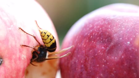 Big european hornet eating ripe sweet tasty apple. Wasp feeding with fruit. Insect spoiling harvest
