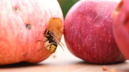 kořist : Big european hornet eating ripe sweet tasty apple. Wasp feeding with fruit. Insect spoiling harvest