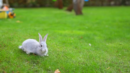 Pair of Cute adorable white and grey fluffy rabbit sitting on green grass lawn at backyard.Small sweet bunny walking by meadow in green garden on bright sunny day.Easter nature and animal background Vídeos
