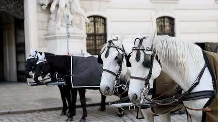 hofburg : two pairs of white and black beautiful horses with carriage in Vienna historical city center near Hofburg palace. Traditional austrian travel sighseeing destination and landmark. Horses voyage trip
