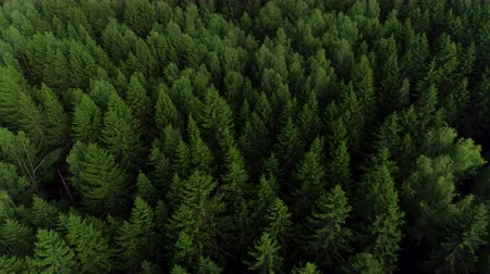 çam ağacı : 4K HD Aerial view camera moves rising up from green forest of dense mixed tree tops of pine trees and birches, fur tree. Drone footage.