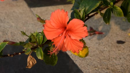 mallow : Beautiful red bright flower of a hibiscus at sunset.