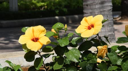 hibiscus : Beautiful yellow bright flower of a hibiscus waving in the wind.