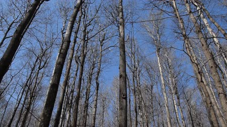 dead wood : Tops of trees without leaves against the blue spring sky. Camera moves from left to right.