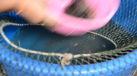comerciante : A fisherman is grabbing live Tilapia (Anabas) from the bucket for sell Vídeos