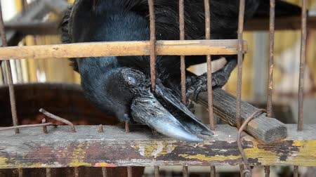 corvo : A Blind crow is seeking freedom. It is in bad condition and trying to break free by biting the wire cage over and over again. Vídeos