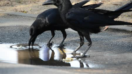 corvo : Smart crows are making the food soft in water before eating it Vídeos