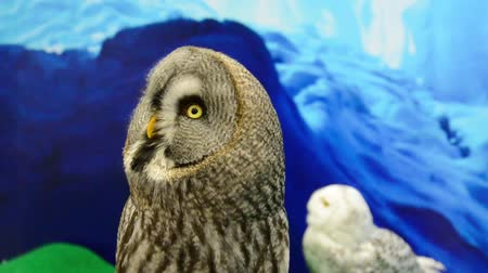 expressão facial : Great grey owl head is turning around like a robot. Its a weird and cute bird.