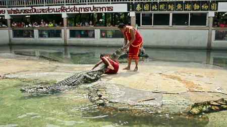 valente : SAMUPRAKARN, THAILAND - MARCH 30, 2015: Professional trainers try to drag big fresh water crocodile but accidentally fall down in Thailand in March 30, 2015