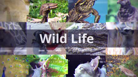 vadon : Wildlife documentary presentation title with various animals species such as mammal reptile bird insect background in technology and biology education concept with text 4k Stock mozgókép