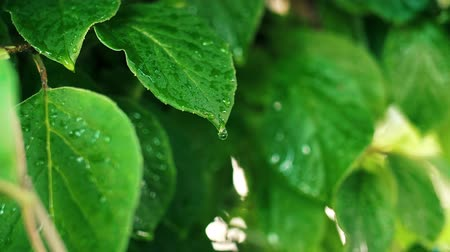 extreme close up : Close up of rain drops on the leaves Stock Footage