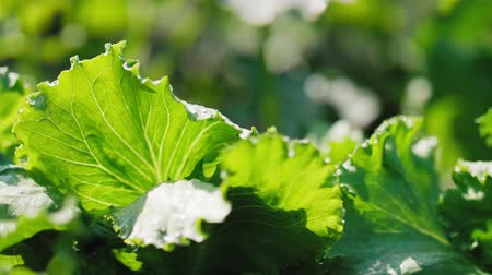crucifers : Green lettuces leaves in the field Stock Footage