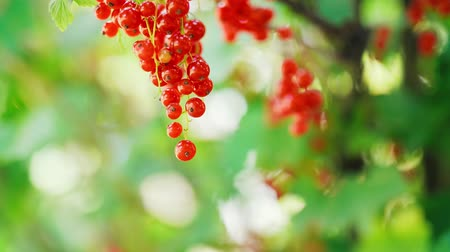 смородина : Extreme close up of red currant