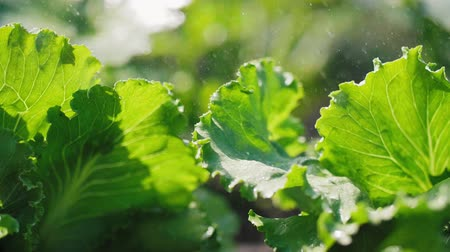 crucifers : Close up of lettuces leaves
