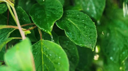 zöld levél : Close up of plant in the rain