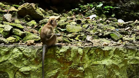 batu caves : Monkey sitting on the rocky wall and having food which is located in the limestone hill in Batu Caves, Malaysia. Stock Footage