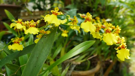 oncidium : Dancing lady orchids in the garden.