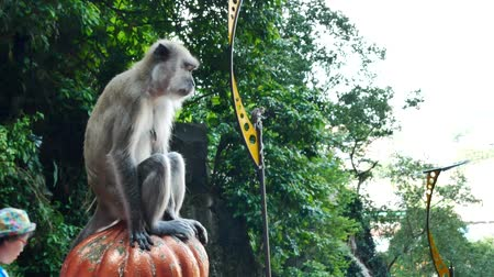 batu caves : Batu Caves,Malaysia - July 7,2017 : Monkey sitting on the column of the staircase and watching around in Batu Caves,Malaysia. Stock Footage