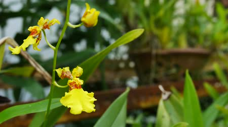 oncidium : Zoom in of the Dancing lady orchids in the garden. Stock Footage