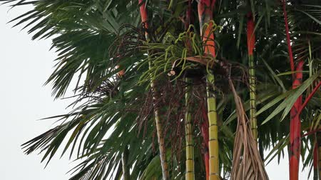 areca : Tropical rain falling with areca palm tree in background Stock Footage