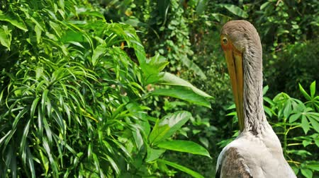 cegonha : A Yellow-billed stork preening its plumage.