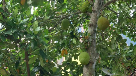 "botanik : Jackfruit (Artocarpus heterophyllus)  also known as jack tree. The jackfruit is referred to as ""Nanga""."