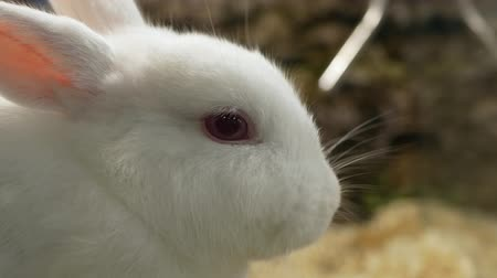 ウサギ : Close-up view of the white rabbit eating grass in the cage 動画素材