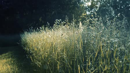 estrutura : spikelets of meadow grass on the sunset sound sway with the wind. Spring season in the village.