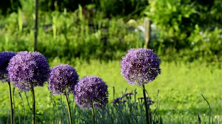 Blossoming purple flowers of decorative garlic on a blurred green background. The camera moves horizontally.
