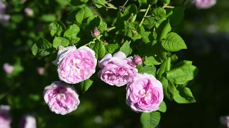 flowers of a tea rose on a blurred green background, waving by the wind. Spring season, May. Dostupné videozáznamy