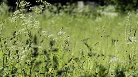 silhouettes of the spikelets of the meadow grass wag the wind on a sunny morning. Spring season, rural landscape.