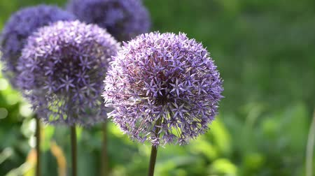 perene : Blossoming purple flowers of decorative garlic on a blurred green background. Spring season, rural landscape.