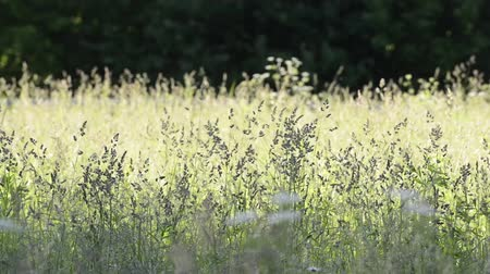 flowering meadow grasses waving by the wind in the evening. Spring season, May.