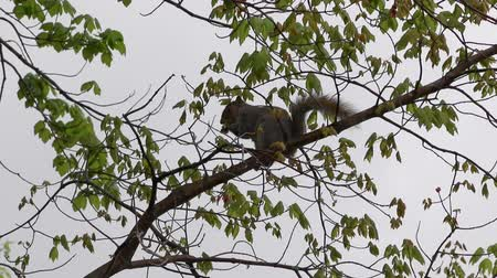 orzechy : Squirrel Gathering Nuts on Branch Wideo