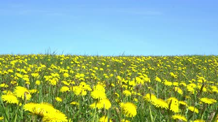 sow : Field of dandelions under blue sky