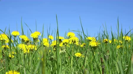 thistle : Field of yellow dandelions under blue sky Stock Footage
