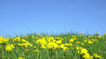 sow : Yellow dandelion flowers under blue sky Stock Footage